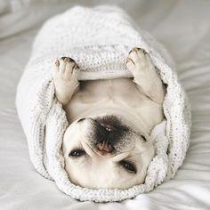 Theo, the Cashmere Burrito, @theobonaparte, French Bulldog on instagram.