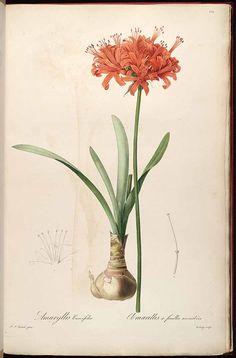 Redouté. Nerine sarniensis. http://plantillustrations.org/illustration.php?id_illustration=37927