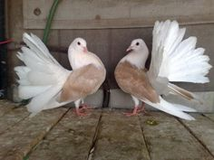 Fantail Pigeons White Pigeon, Dove Pigeon, Fantail Pigeon, Archery Bows, Pheasant, Beautiful Birds, Animals And Pets, Fancy, Gemstones