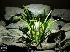 plastic aquarium plants: arrohead grass from ron beck designs. pap181 by ronbeckdesigns on Etsy. #ronbeckdesigns #gotplants? #aquarium #reptile #plants