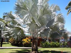 Bismarckia nobilis - Palmpedia - Palm Grower's Guide