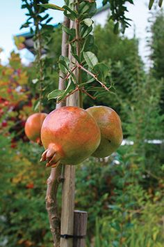 Pomegranate - Punica Granatum