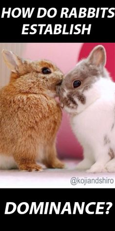How Do Rabbits Establish Dominance – It's Not What You Think!