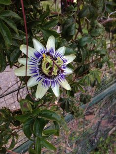 Passion Flower (passiflora): Your plant is a Passiflora of which there are several species and hybrids.  Needs sturdy support for its vine, full sun, and regular water during the growth and bloom cycles. Fruits will follow flowering, some are edible and some are ornamental.