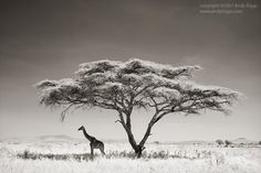 By Wildlife Photographer Andy Biggs #Africa, #pinsland, https://apps.facebook.com/yangutu