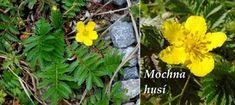 Byliny - Bylinky pro všechny Herb Garden, Herbs, Plants, Herbs Garden, Herb, Plant, Planets, Medicinal Plants