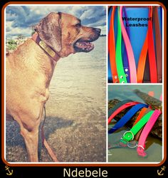 Just wanted you to have a picture of my Rhodesian Ridgeback wearing one of your collars and using a matching leash. Love them both!  http://www.kippyandco.com/products/waterproof-dog-collar