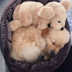 Golden Retriever I love my doggy!I can't sleep without my comforter doggy!I miss my mummy! Cute Dogs And Puppies, Baby Dogs, I Love Dogs, Pet Dogs, Doggies, Animals And Pets, Funny Animals, Puppy Images, Tier Fotos
