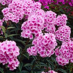 Syysleimu Miss Pepper Beautiful Flowers, Japanese Garden, Hardscape, Plants, Home And Garden, Flowers, Pink Perennials, Perennials, Flower Garden