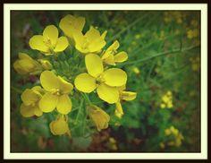 Mustard in Niles Canyon  by Dan DellaChiesa of San Lorenzo
