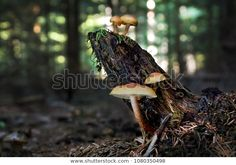 Find Sulphur Tuft Hypholoma Fasciculare On Stump stock images in HD and millions of other royalty-free stock photos, illustrations and vectors in the Shutterstock collection. Thousands of new, high-quality pictures added every day. Bald Eagle, Photo Editing, Royalty Free Stock Photos, Illustration, Pictures, Photography, Image, Summer, Editing Photos