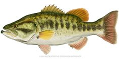 Fishing can be a great stress reliever. Find out more about fishing as a stress relieve, including tips on catching fish and staying safe. Watercolor Paintings Of Animals, Animal Paintings, Fish Paintings, Poster Pictures, Pictures Images, Trout Fishing, Bass Fishing, Wood Fish, Lake Art