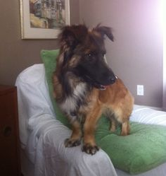 Baxter is a cross between a german shepherd and either a corgi or a basset hound. He is 100% adorable!