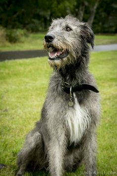 Reminds me of the grey pilgrim AKA Gandalf Irish Setter, Beautiful Dogs, Animals Beautiful, Irish Dog Breeds, Irish Wolfhound Dogs, Scottish Deerhound, Huge Dogs, Dogs And Puppies, Doggies