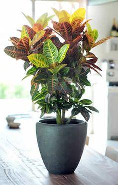 Codiaeum variegatum 'Mrs. Iceton' Croton 'Mrs. Iceton'