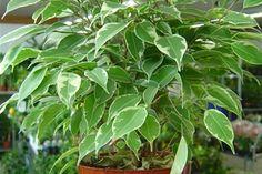 Krukväxt med grönspräckliga blad.