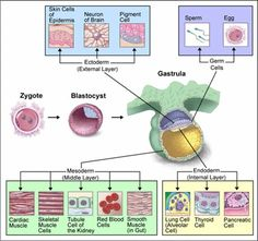 Image result for embryo formation
