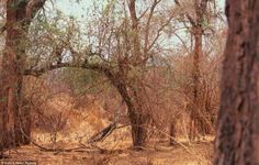 No animal is too big to use camouflage. Can you spot the giraffe? Camouflage Animals by Art Wolfe Camouflage, Art Wolfe, Reto Mental, Animal Pictures, Funny Pictures, Animals Photos, Random Pictures, When U See It, Mundo Animal