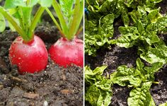 Radishes + Spinach http://www.rodalesorganiclife.com/garden/26-plants-you-should-always-grow-side-by-side/slide/9
