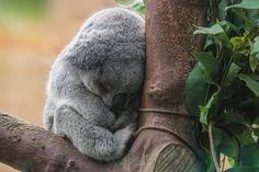 Coala é salvo com respiração boca a boca na Austrália. Foto: SXC