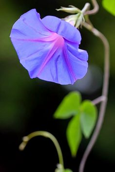 Morning Glory in the Morning • Heavenly Blue Fresh Rose
