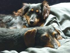 Miniature dachshunds Phoebe (long-haired) and Connor (wire-haired) rest together.