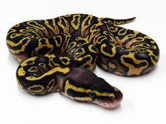 pastel yellow belly trick ball python.