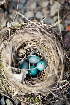 baby blue bird eggs in a teeny tiny nest... (this ivy house)