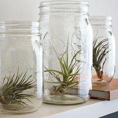 air plants in mason jar