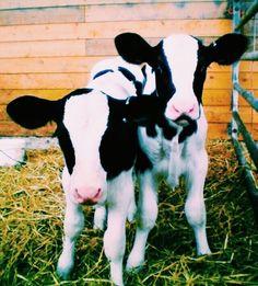 ☾ ωe αll нαve secяeтs // @badassqueen107 ☽ Fluffy Cows, Fluffy Animals, Cute Baby Animals, Farm Animals, Animals And Pets, Cute Creatures, Beautiful Creatures, Animals Beautiful, Baby Cows