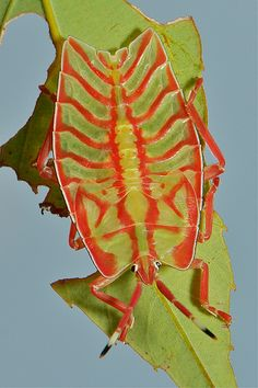 Giant Shield Bug Nymph (Eusthenes sp., Tessaratomidae) | Flickr - Photo Sharing!