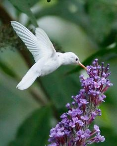 White hummingbird in the wild.