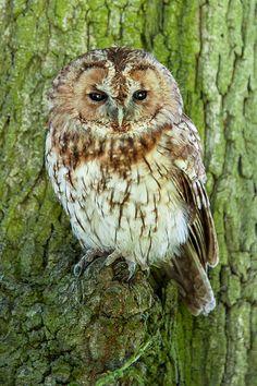 """"""" Tawny Owl by pickypix """""""