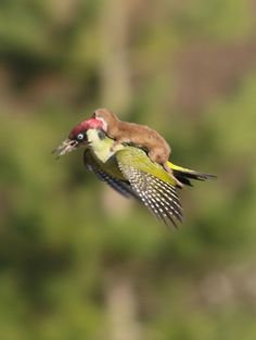 Baby weasel on the back of a green woodpecker
