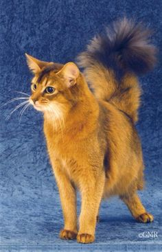 Somali cat, posted via free-pet-wallpapers.com