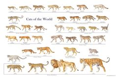 These stunning wild cat posters are great for learning (and admiring!) all the beautiful wild cat species in the cat family Felidae - big cats and small cats. Animals Of The World, Animals And Pets, Funny Animals, Cute Animals, Small Wild Cats, Big Cats, Cats And Kittens, Wild Cat Species, Animal Species