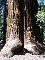 Giant Sequoia National Monument in California...this picture looks like two giant legs and feet.