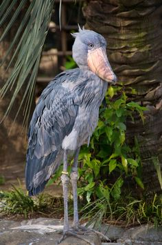 Shoebill Stork(by Bob Owen)