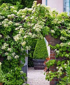 Any garden structure looks lovelier with a vine scampering up it. Place climbing hydrangea near entryways or seating areas where you'll enjoy its sweetly scented flowers. And give its aerial roots something sturdy to cling to, such as a masonry wall or a large tree trunk. Standout varieties include variegated 'Firefly' and its silvery-leaved cousin, 'Moonlight.'