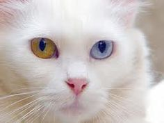 This is the homeland of Turkey with two color cat eyes. The city of Van in eastern Turkey are homeland. Therefore, in this cat Turks Van cat says.