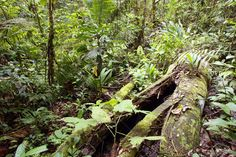 Rotting Log On The Rainforest Floor In The Peruvian Amazon Stock Photo, Picture And Royalty Free Image. Image 5005139.