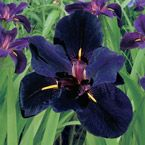 "Iris Louisiana Black Gamecock, Dark purple 4"" blooms accented with band of golden yellow. Product Information: Light: Full Sun Height: 24"" Deer Resistant Bloom Time: Early to Midsummer Size: Bareroot Zones: 4 to 9"