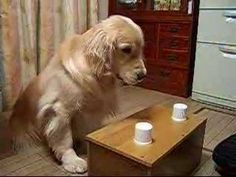 Coco Chan, the corn eating golden retriever from Japan, has died. | The Daily Golden