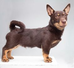 #VetsSomerset The Lancashire Heeler is best suited to families with school-age children and enjoys having a yard where he can run. Be sure it's escapeproof!