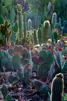 Arizona cactus garden at Stanford. via: http://www.flickr.com/photos/pearson3/5749960122/