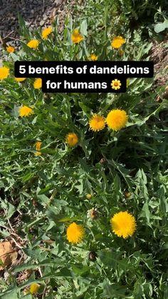 Healing Herbs, Natural Healing, Medicinal Weeds, Dandelion Recipes, Edible Wild Plants, Herbal Plants, Wild Edibles, Herbal Medicine, Holistic Medicine