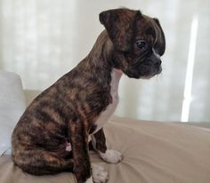 Buddy is an adorable Boston Terrier / King Charles Cavalier mix