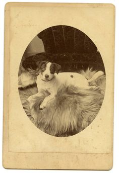 Jack Russell Terrier Victorian Cabinet Card by AuntieGVintage