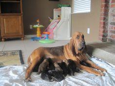 Ckc Bloodhound Puppies