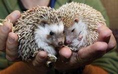 African hedgehogs ( part of Zoo Babies Exhibit at the Cincinnati Zoo & Botanical garden)
